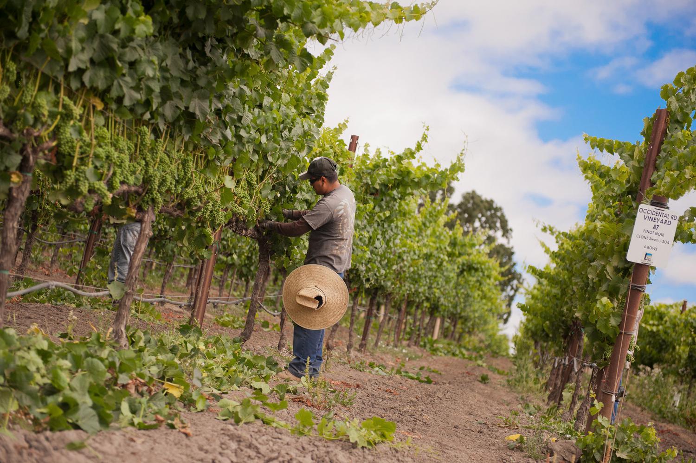 Vineyard_worker_at_Occidental_road_vineyard.png