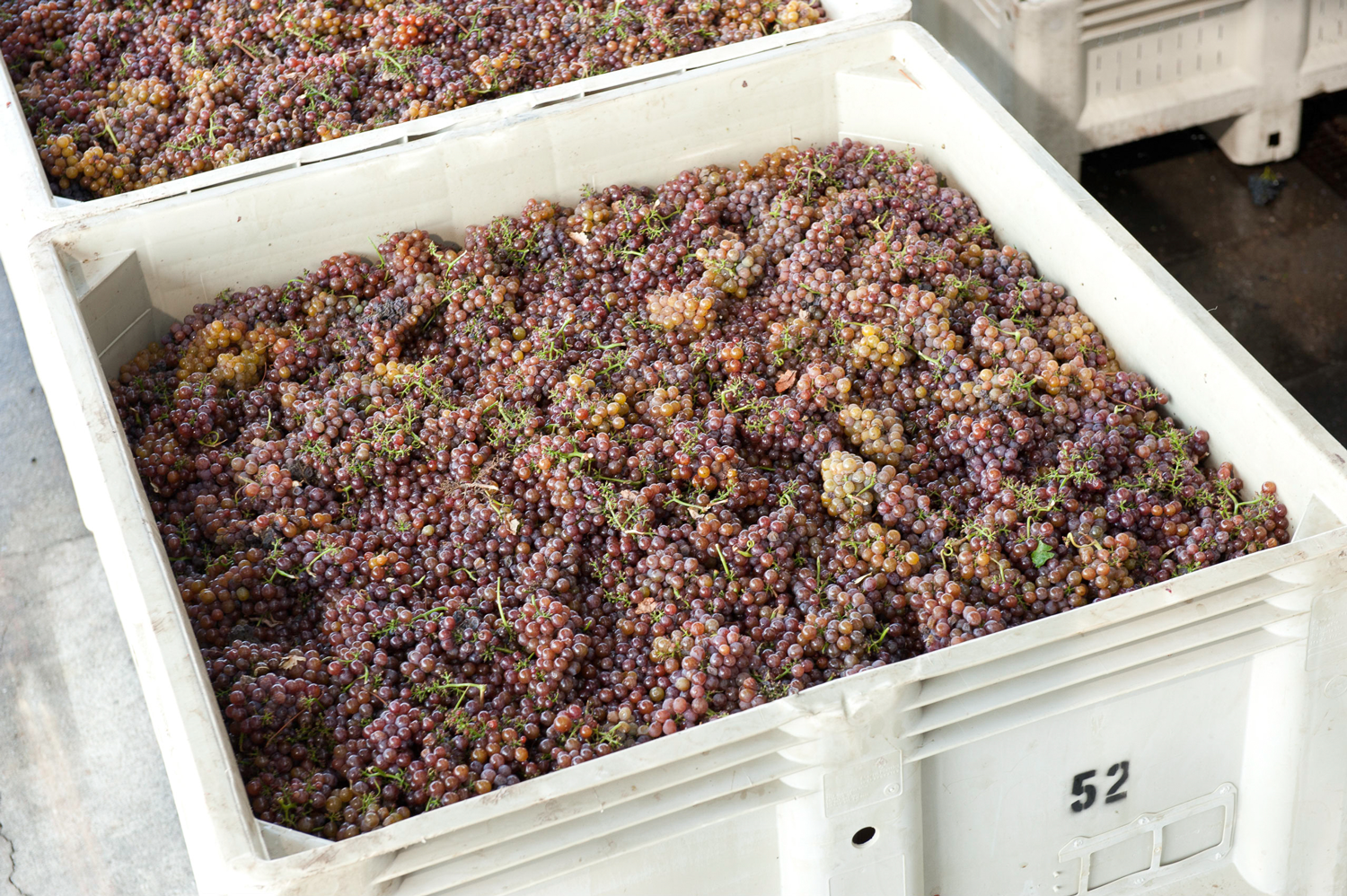 gewurztraminer_grape_clusters_hand_picked.png