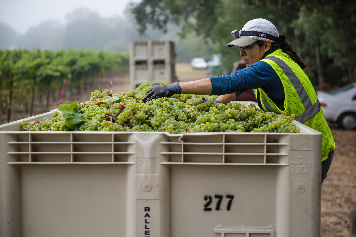 Vineyard_worker_caring_for_Sauv_Blanc_grapes_in_bin.png