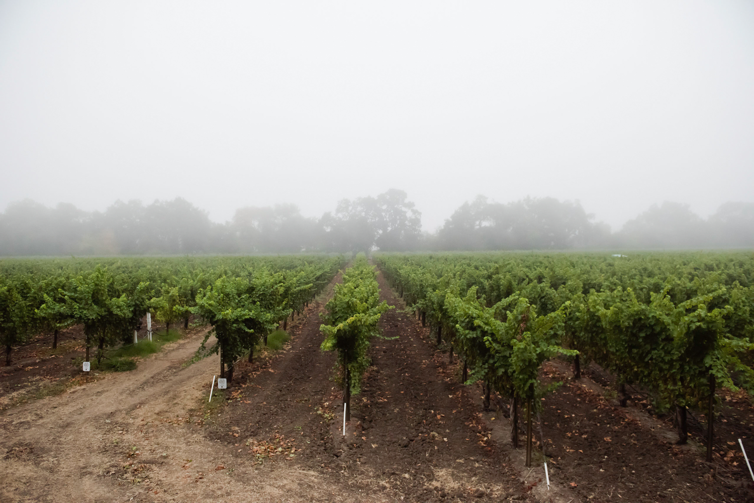 Fog_layer_covering_Hall_and_Piner_vineyards.png