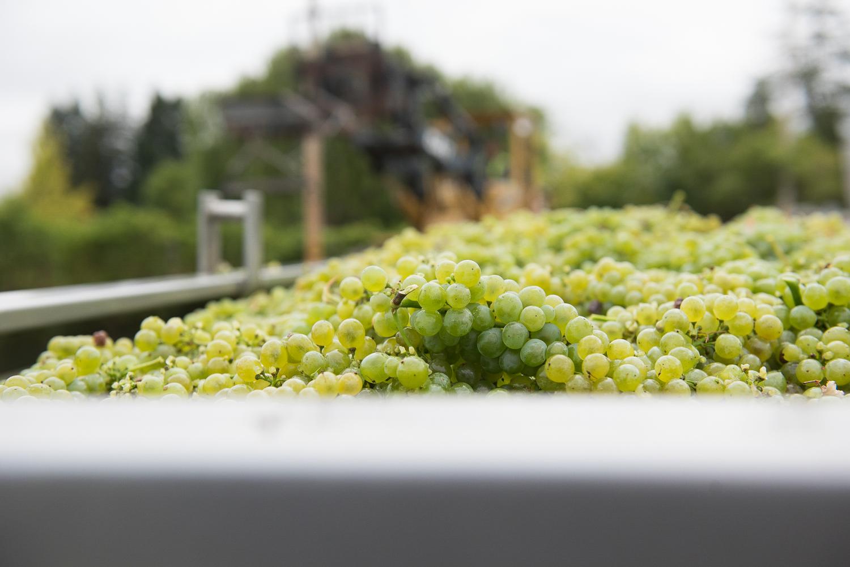 Focused_shot_of_Sauv_Blanc_grapes.png