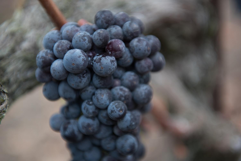 Zinfandel_grape_cluster_at_Balletto's_BCD_Vineyard.png