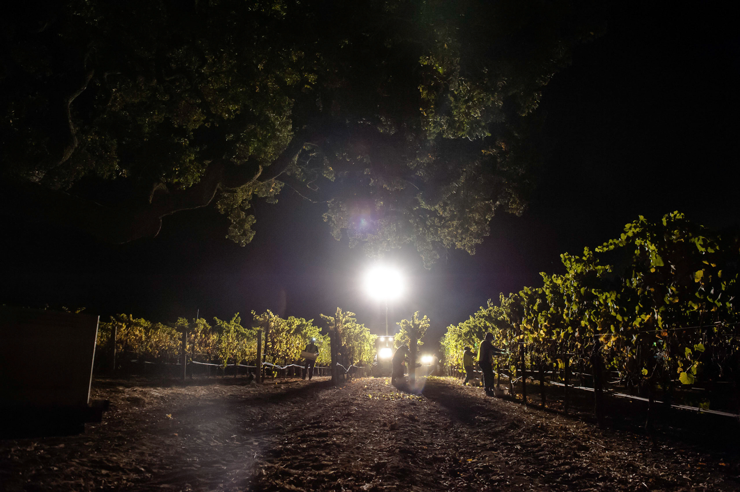 Vineyard_workers_hand_picking_grapes_at_night_under_light.png