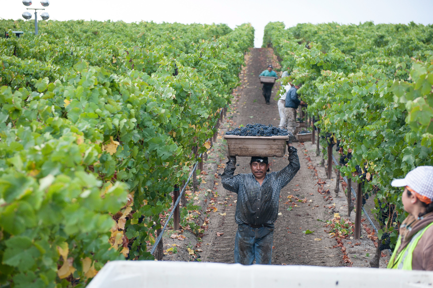 Harvest_Worker_Carrying_Bin_of_Grapes_durng_harvest.png