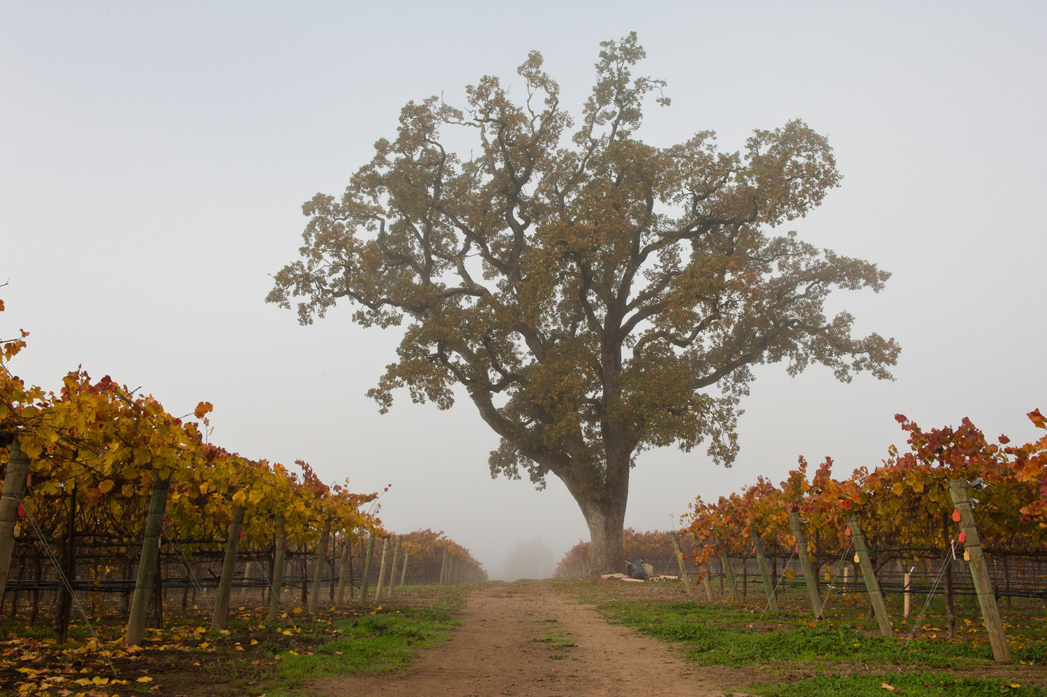 Lone_standing_oak_tree_in_the_foggy_BCD_Vineyard.png