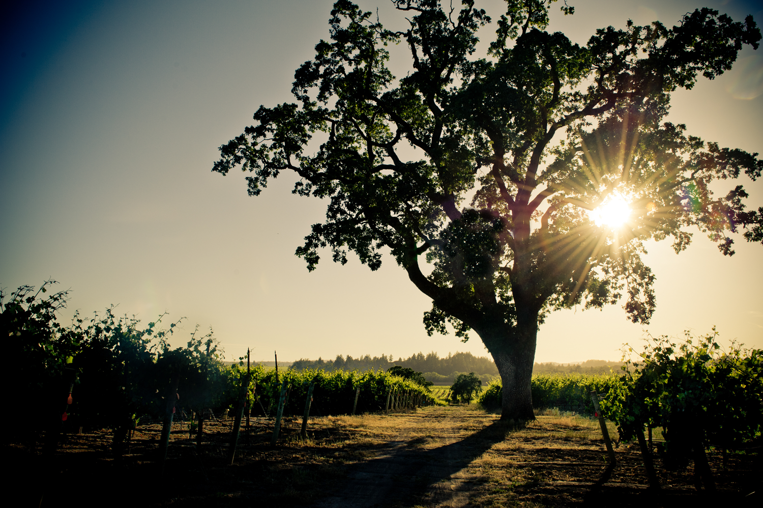 Silhoutte_of_oak_tree_during_sunset_at_BCD_Vineyard.png