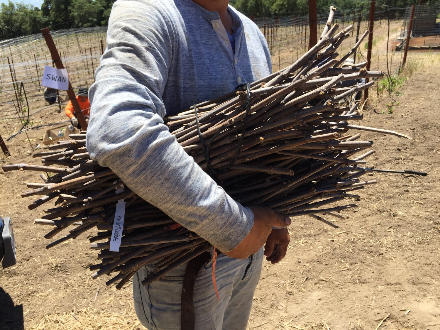 Vineyard_worker_holding_sticks.png