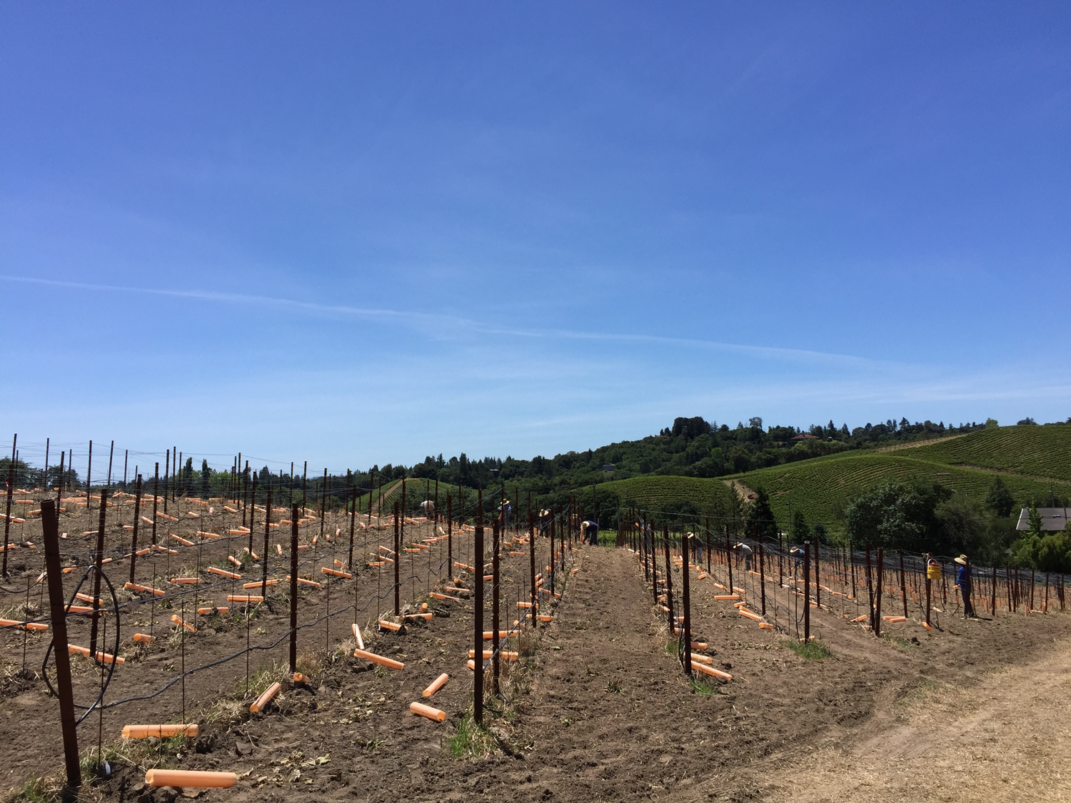Pelletti_vineyard_trellising_set_up.png