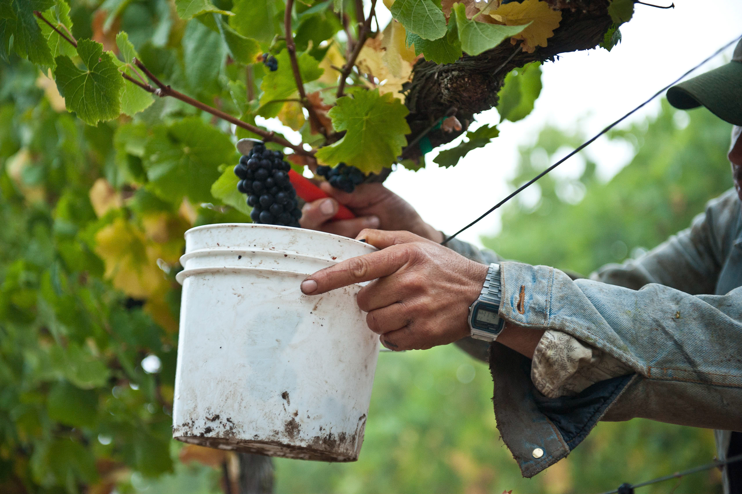 Vineyard_worker_hand_picking_pinot_noir_grapes_and_placing_into_a_bucket.png