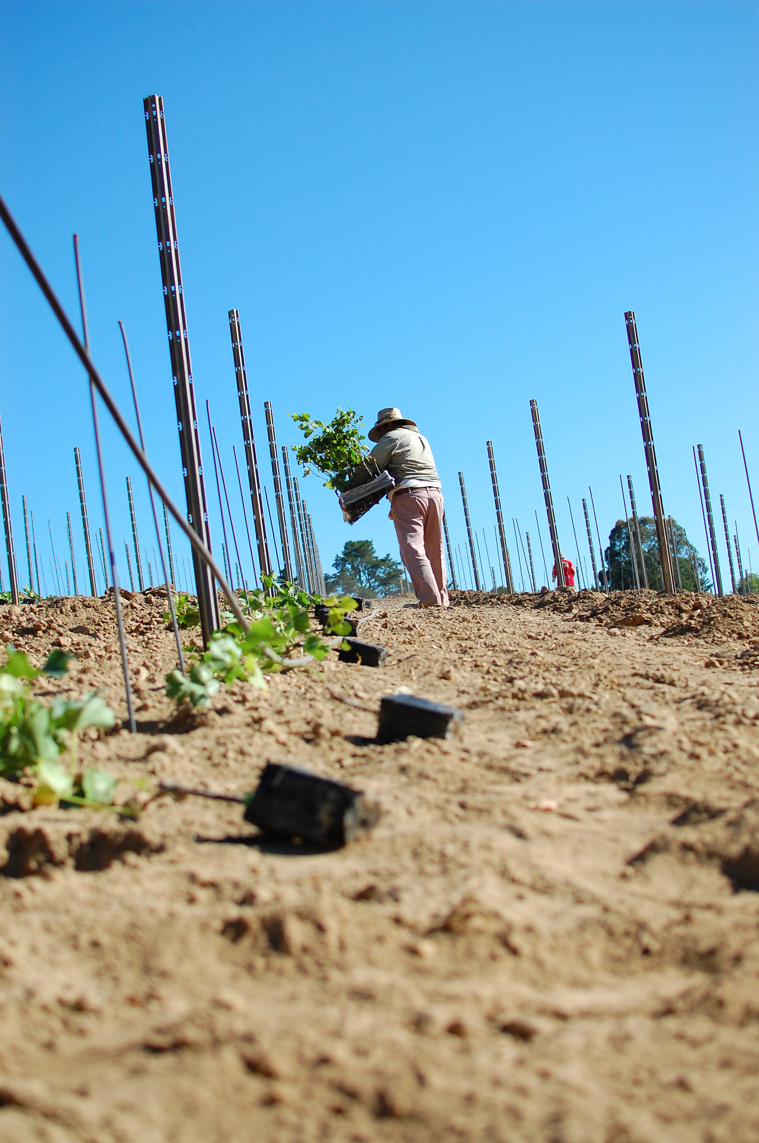 Vineyard_worker_in_a_dirt_vineyard_with_a_blue_sky_background.png