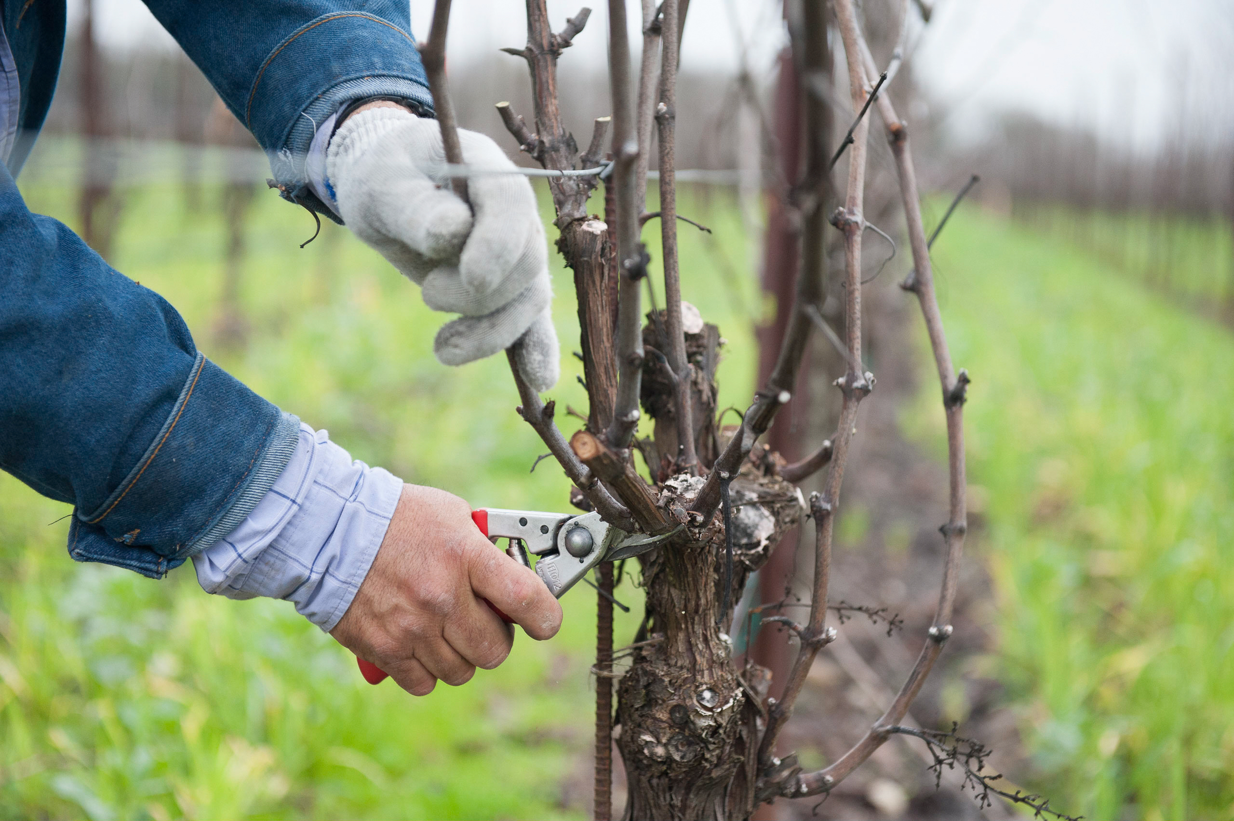 Hand_pruning_for_winter_vine_maintenance.png