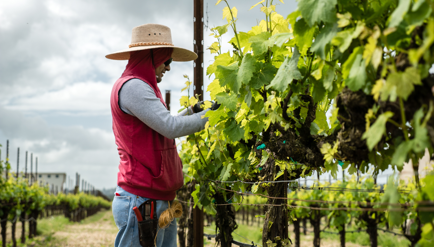 Vineyard_worker_in_red_vest_hand_picking_grapes_during_the_day.png