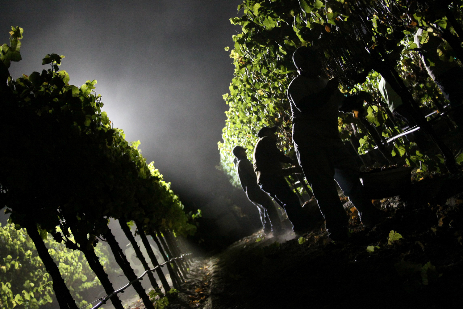 Vineyard_workers_hand_picking_grapes_at_night.png