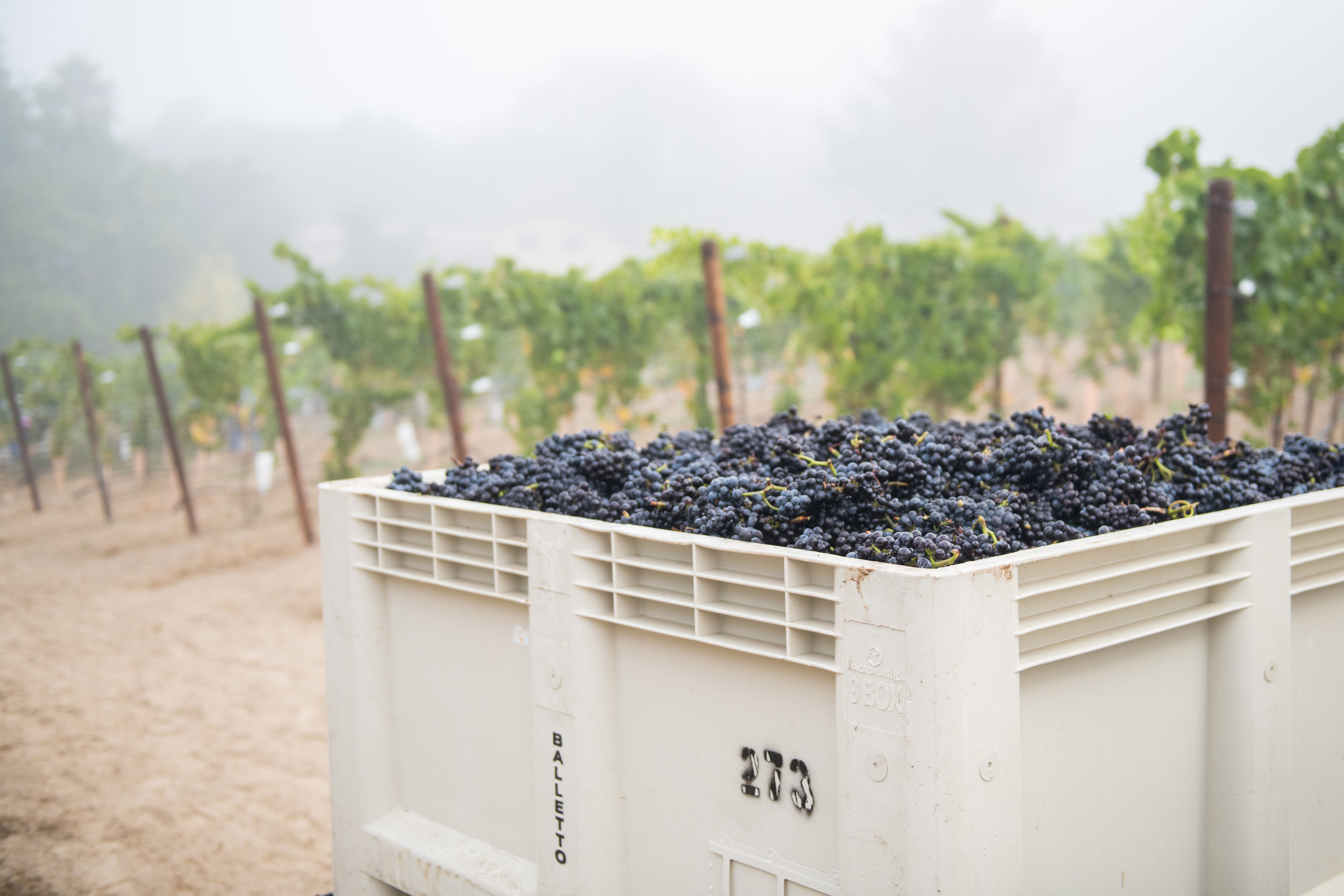 Hand_picked_pinot_noir_grapes_at_pelletti.jpg