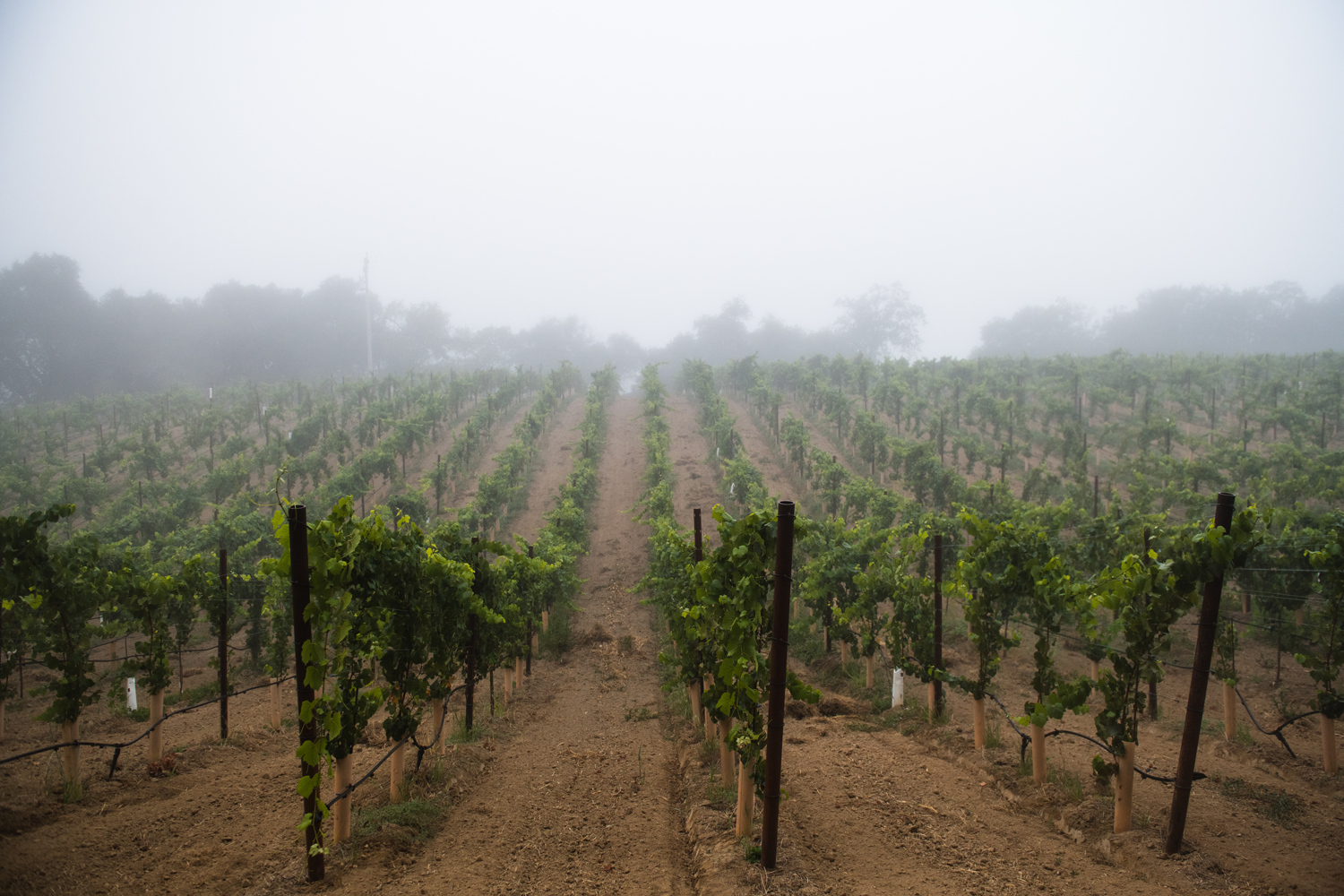 Fog_covered_pelletti_vineyard.png