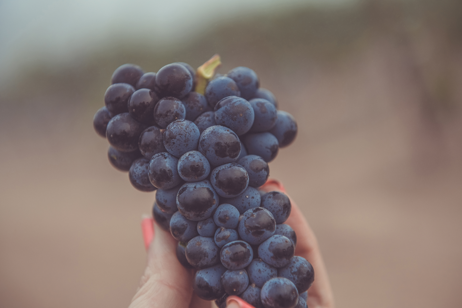 Hand_picked_pinot_noir_grapes.png