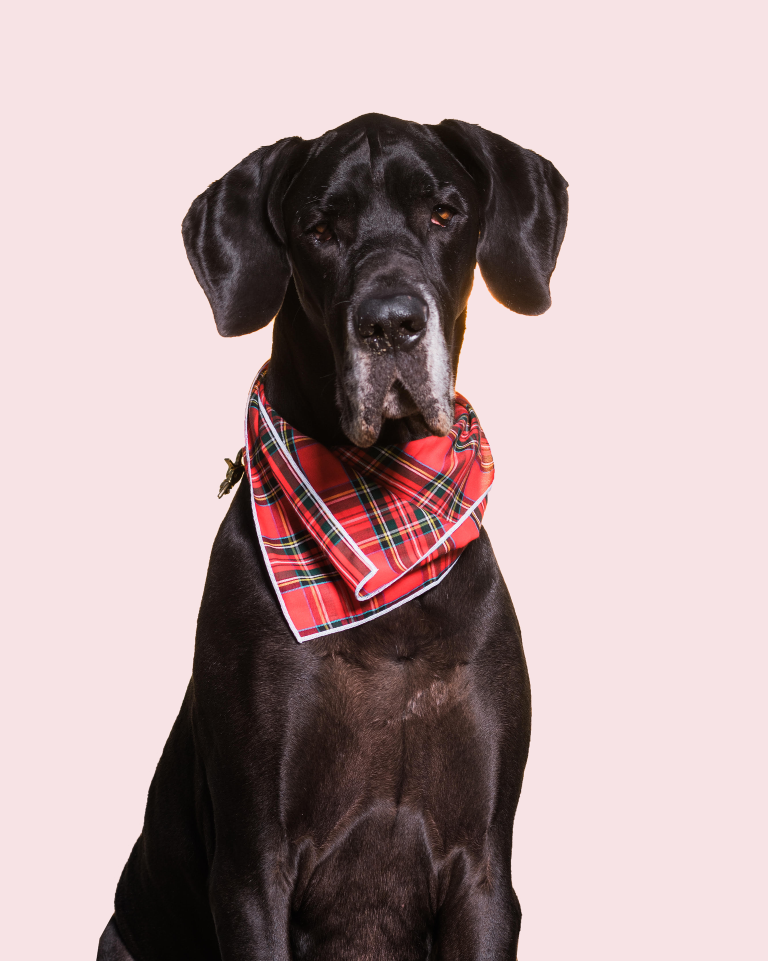BOURBON3/Great Dane - Enjoys long walks on the beach, always wears SPF.