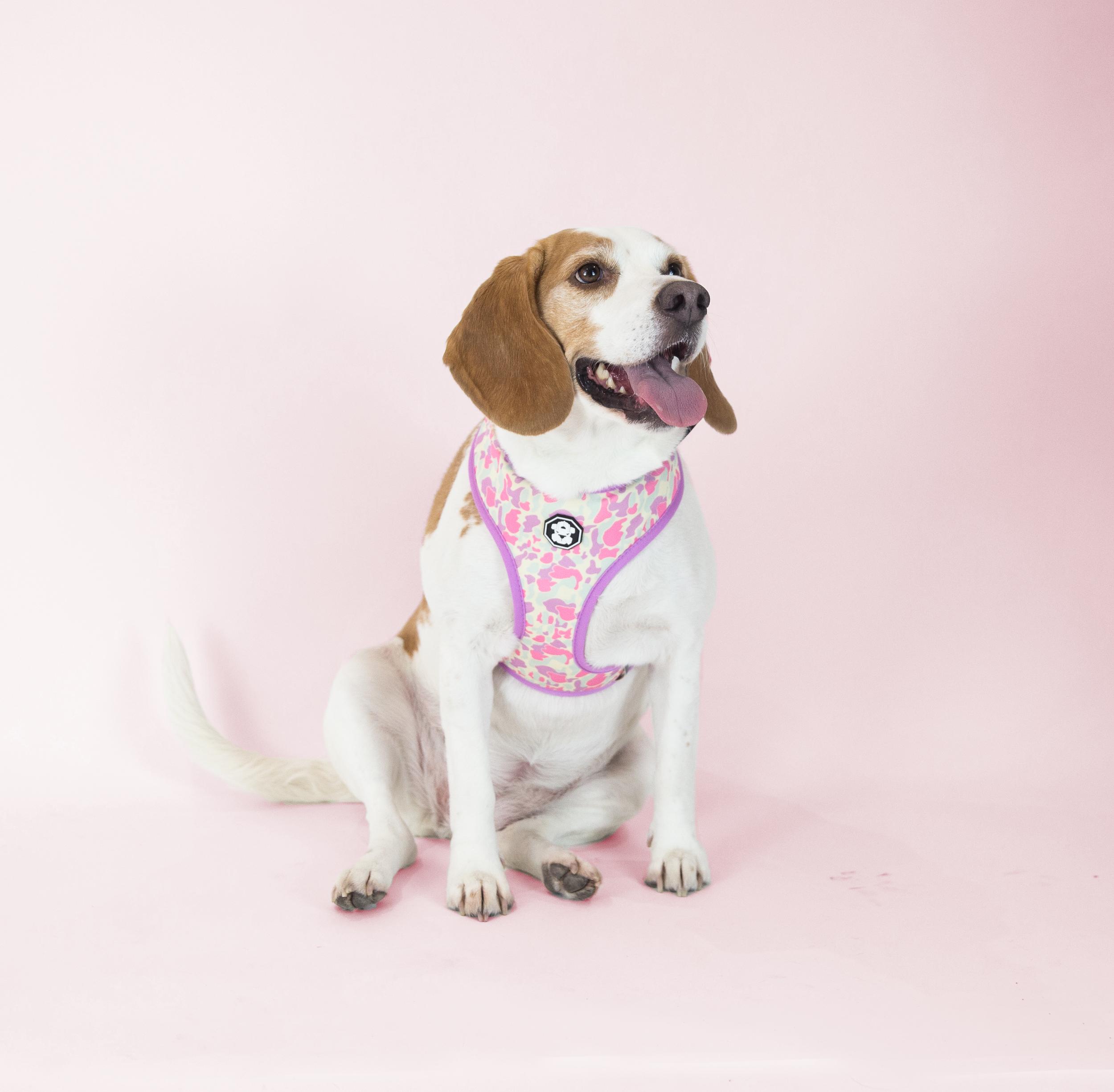 Meet Lily. - Age: 5 years oldBreed: Lemon BeagleHometown: Toronto, Ontario