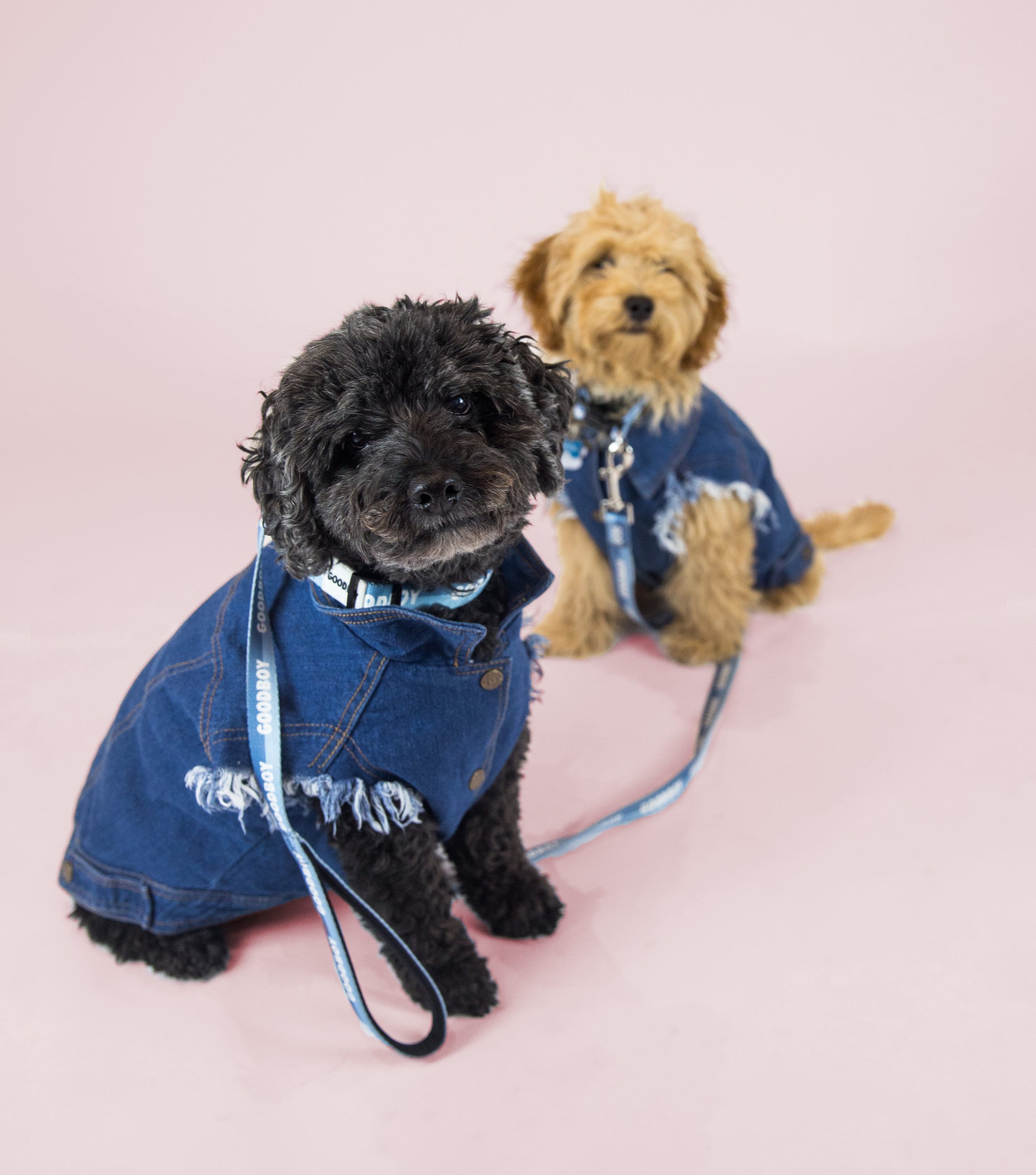 Favourite Goodboy Swag - These two love it all! And their opposite colouring, makes them a great candidate for matching sets. They especially love matching in the Pethaus Raw Denim Vest, as well as the Dog Threads Campus Cardigan.