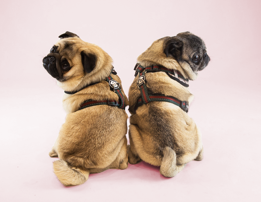 Giving Back - These two lovable pups were the first official therapy dogs at the London Children's Hospital of Western Ontario. On top of that they have worked to raise over $50,000 towards Pugalug Pug rescue in Toronto. Where they find the time in the day? We're stumped.
