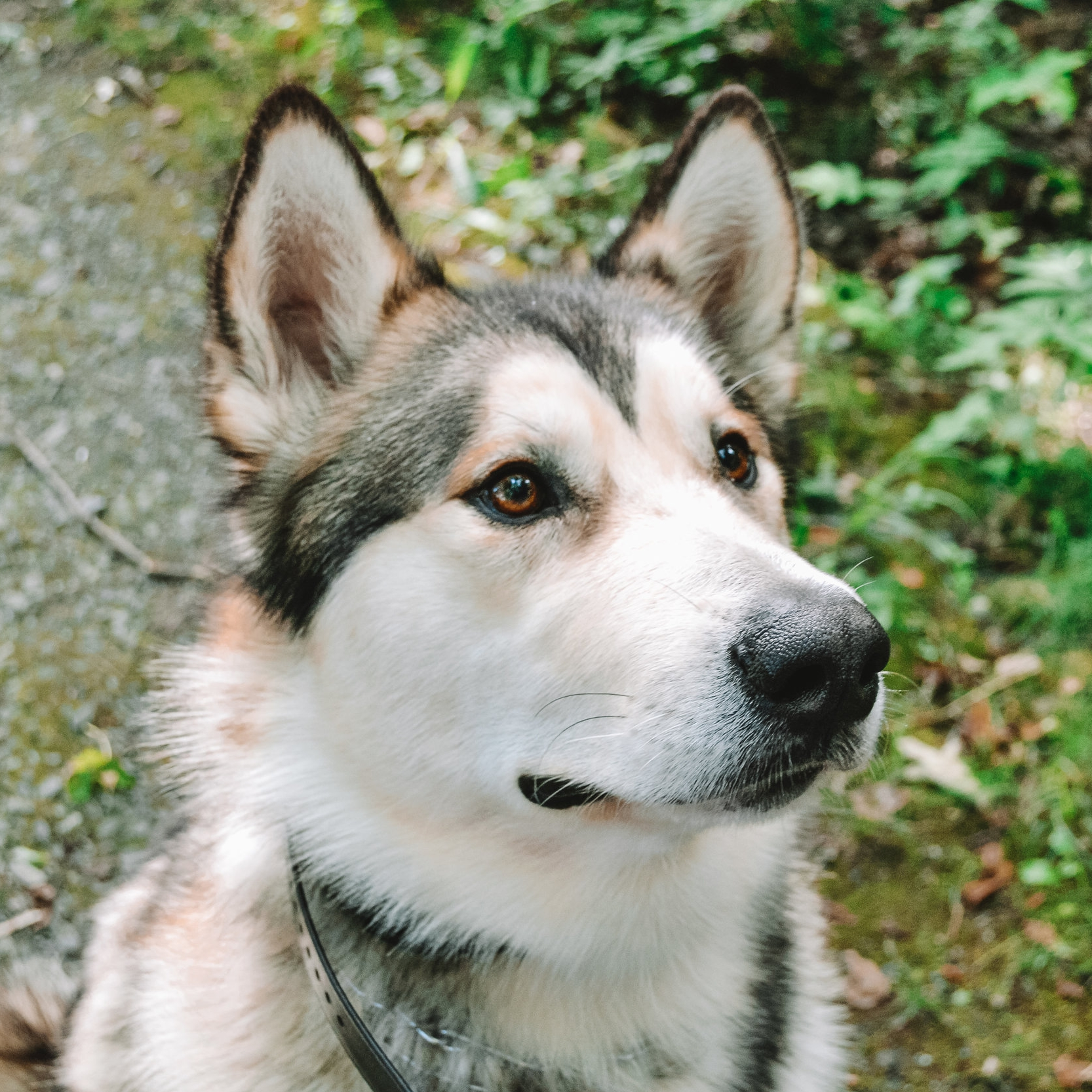 Goliath - Goliath is a one year old Alaskan Malamute. He enjoys hiking, barking at his humans, tormenting his cat siblings, peanut butter, and weather below 60 degrees. He also has his own instagram.