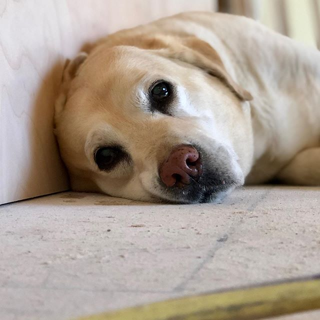 Meet Daisy — our visiting site superintendent for the day. ❤️ #toughboss . #conversebuildersanddevelopers #newhomeconstruction #newhomebuilder #annearundelcounty #annearundelrealestate #yellowlab #thedaisydog