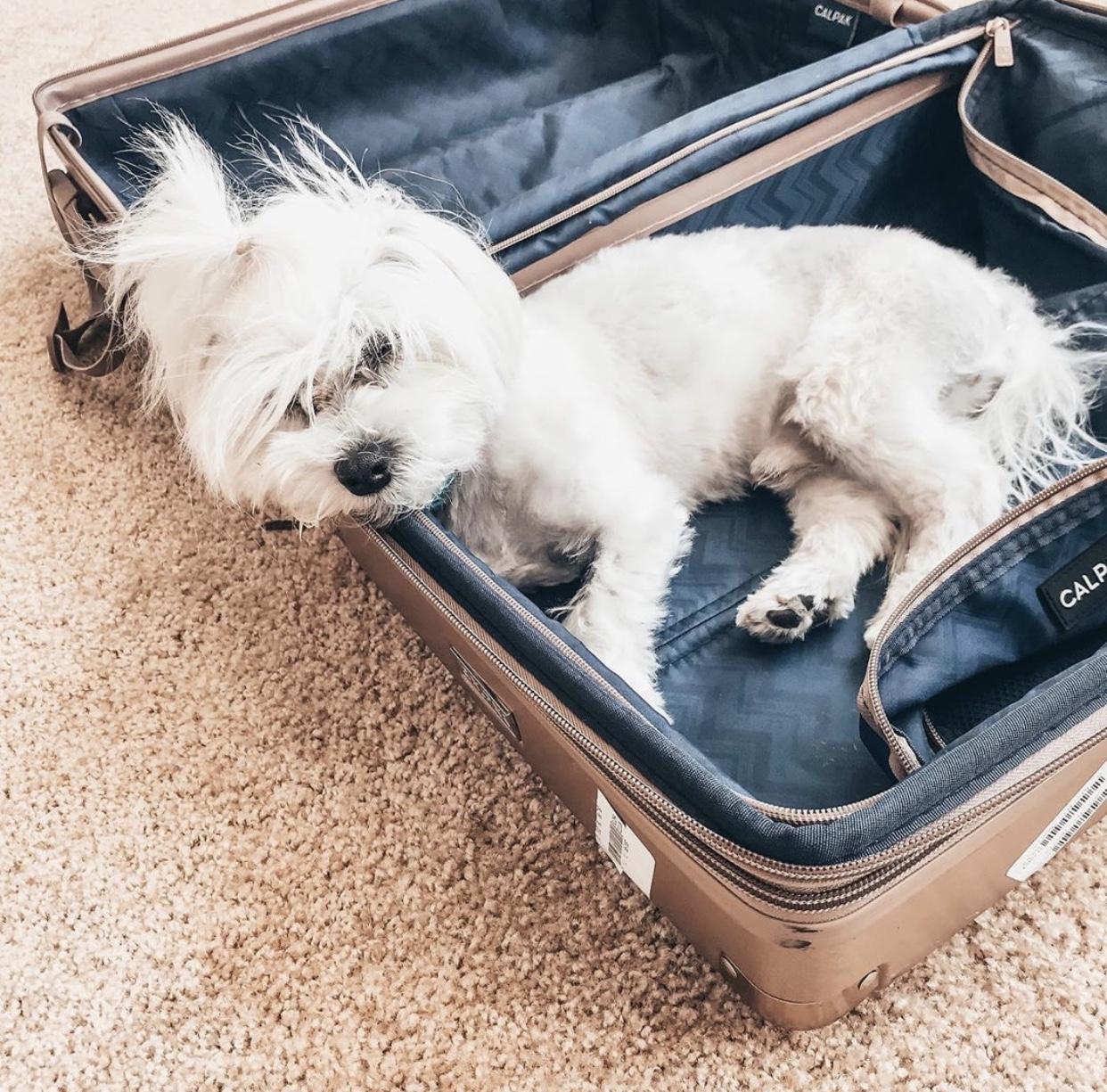 Ambeur Luggage w/ @peanutmaltese -