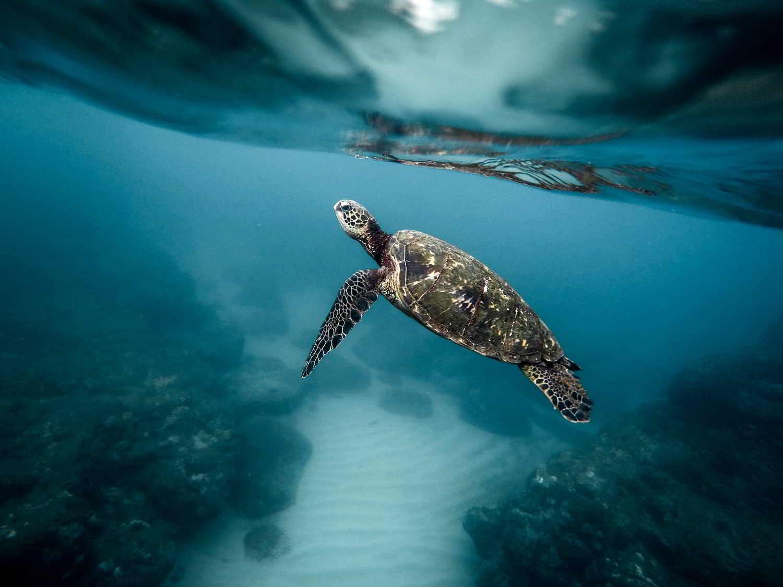 earthlinks Green Sea Turtle Jeremy Bishop ocean deep rocks water reflection snorkling under water wildlife nature_1.jpg