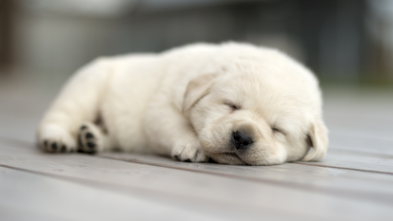 How to Acquire A Puppy -