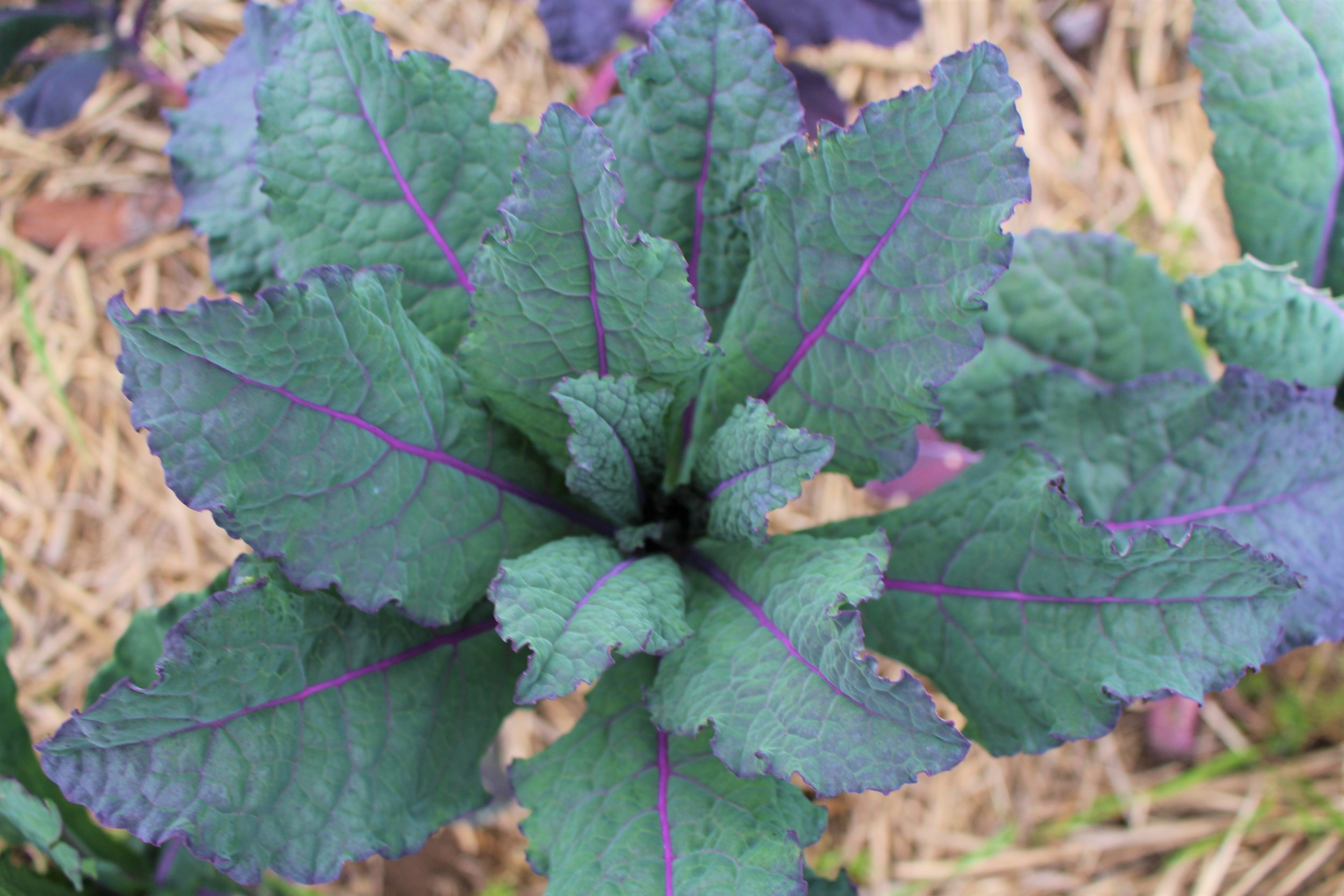 Dazzling Blue Lacinato Kale - The name says it all!