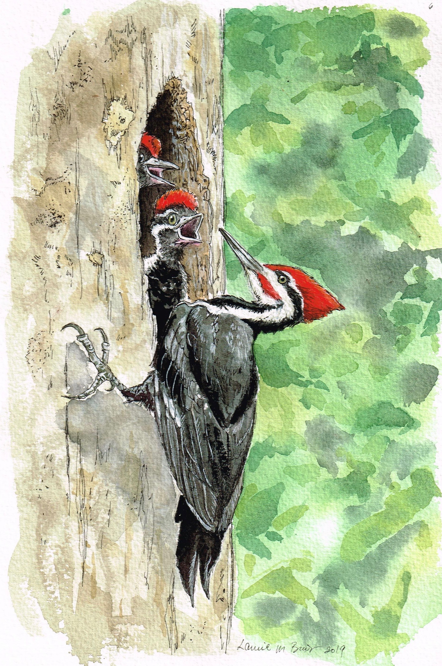 """Pileated woodpecker family. Watercolor and ink on paper, 10""""x7"""""""