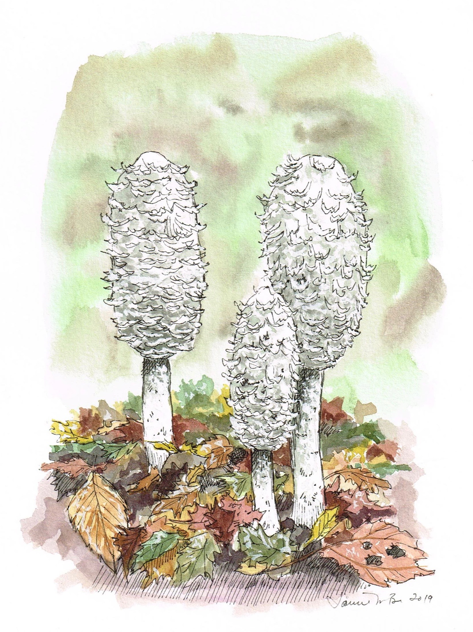 """Shaggy Manes. Watercolor and ink on paper, 7""""x6"""""""