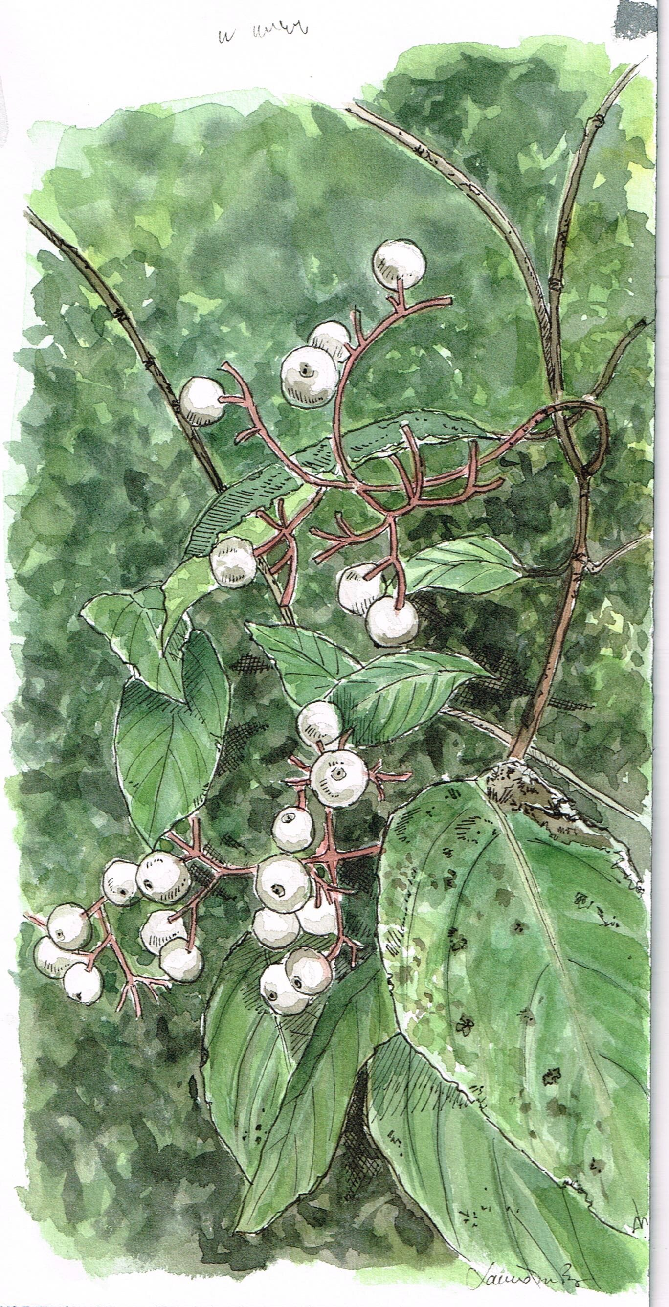 """Gray Dogwood. Watercolor and ink on paper, 9""""x4.5""""."""