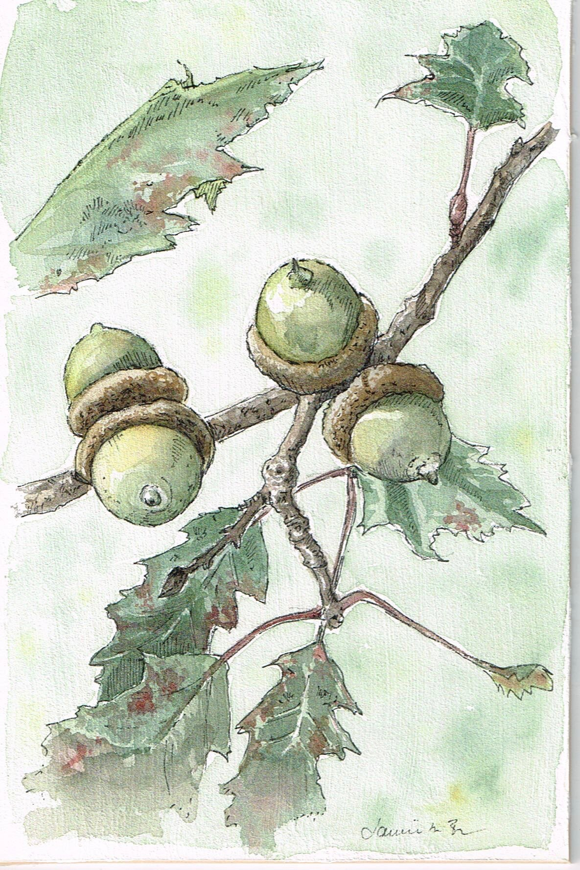 """Acorns. Watercolor and ink on primed mat board, 6""""x4"""""""