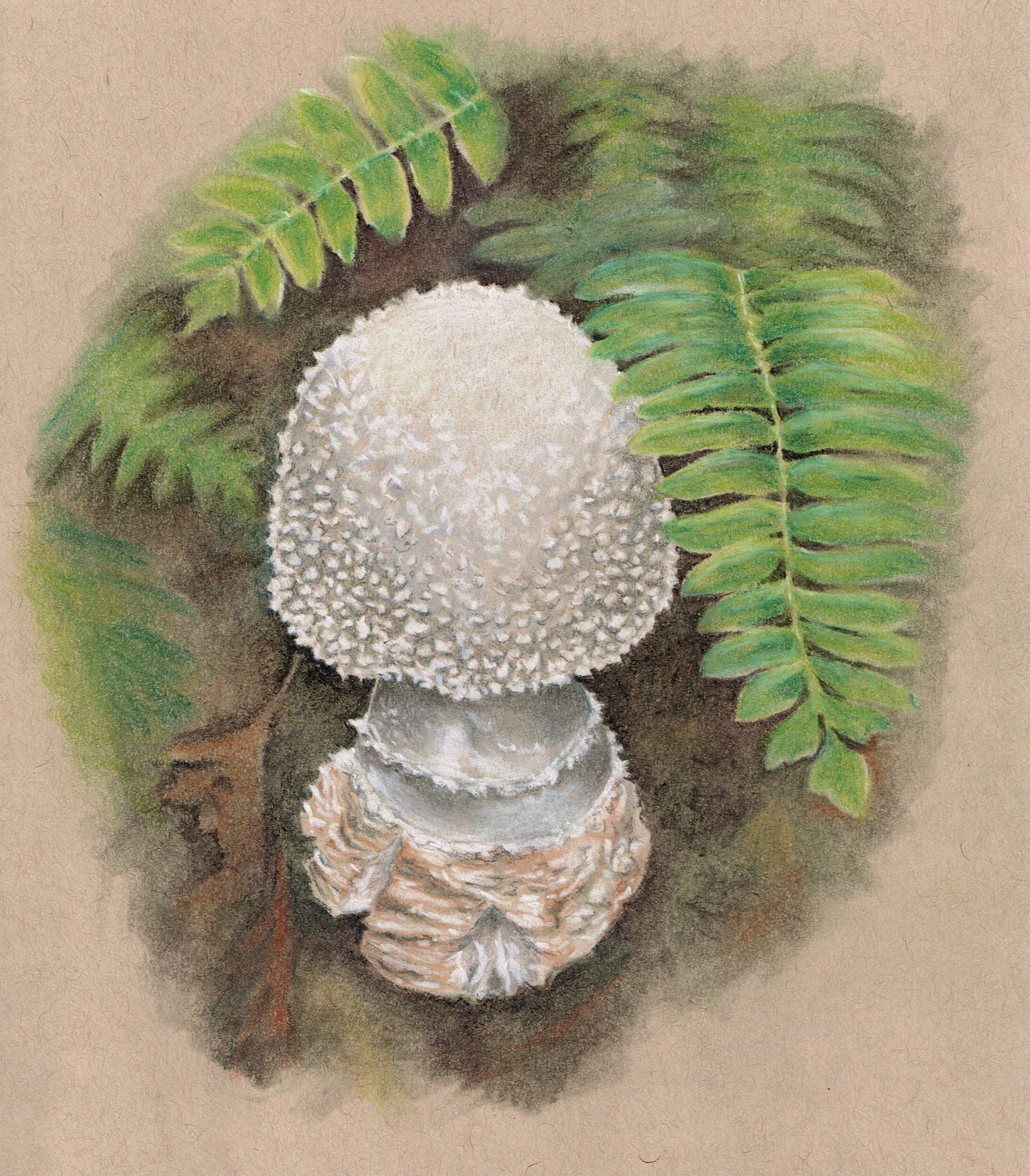 """toadstool, tinted charcoal on scrap paper, about 5""""x4""""."""