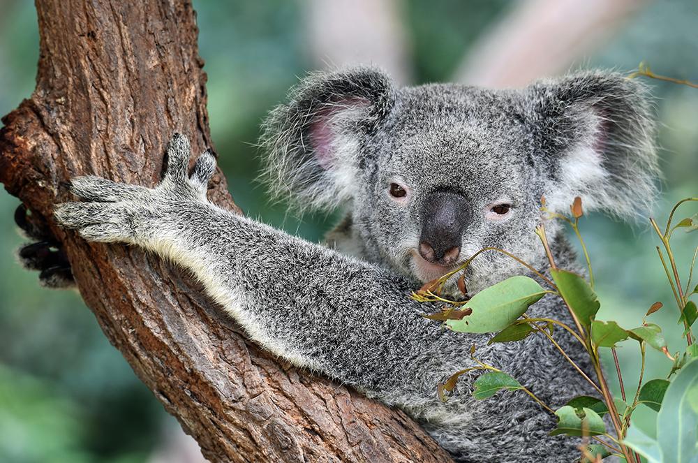 Koala looking at the camera whilst hugging a tree