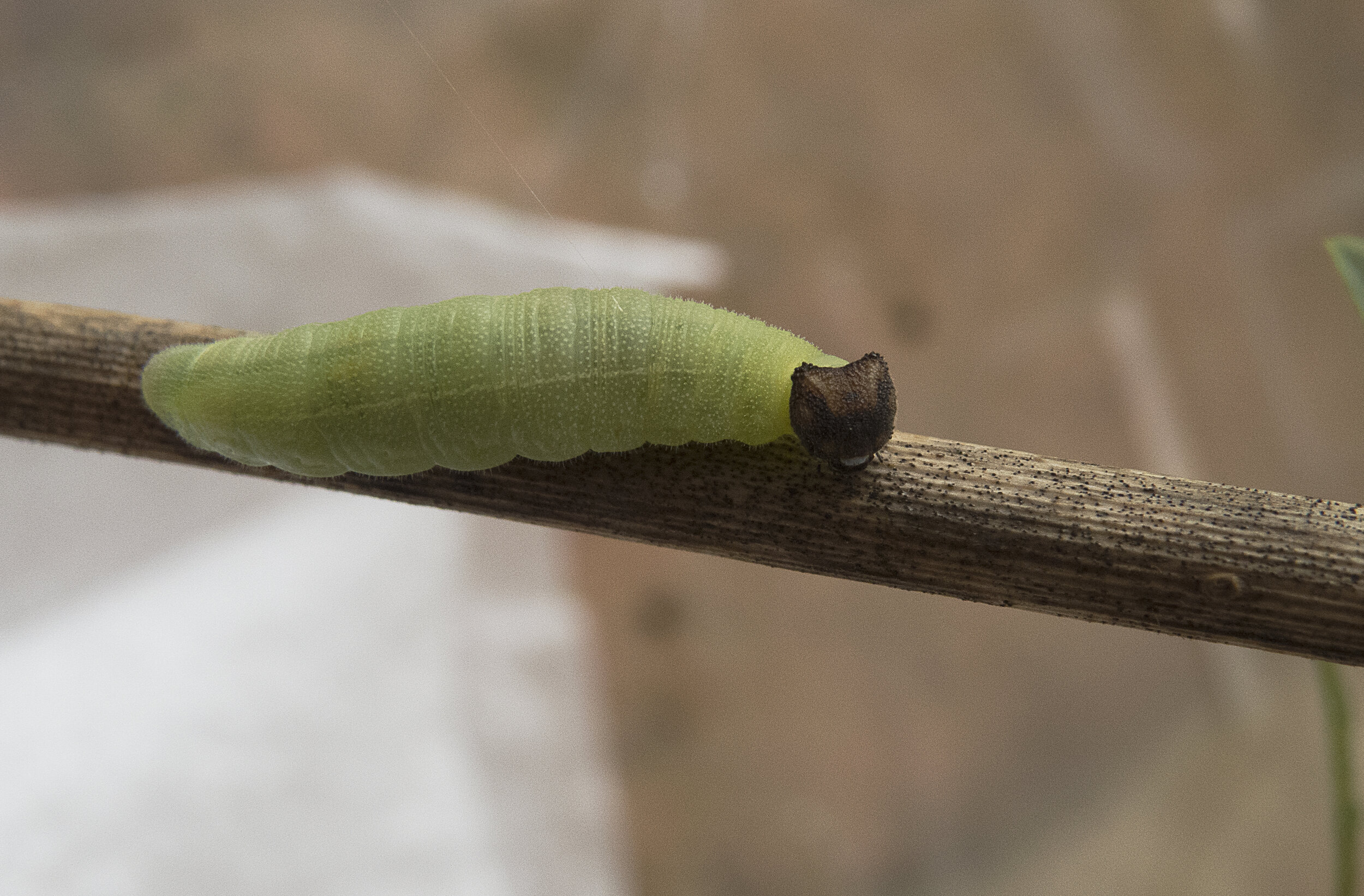 A Wild Indigo Duskywing caterpillar searching for a cozy winter resting spot among stem and leaf litter