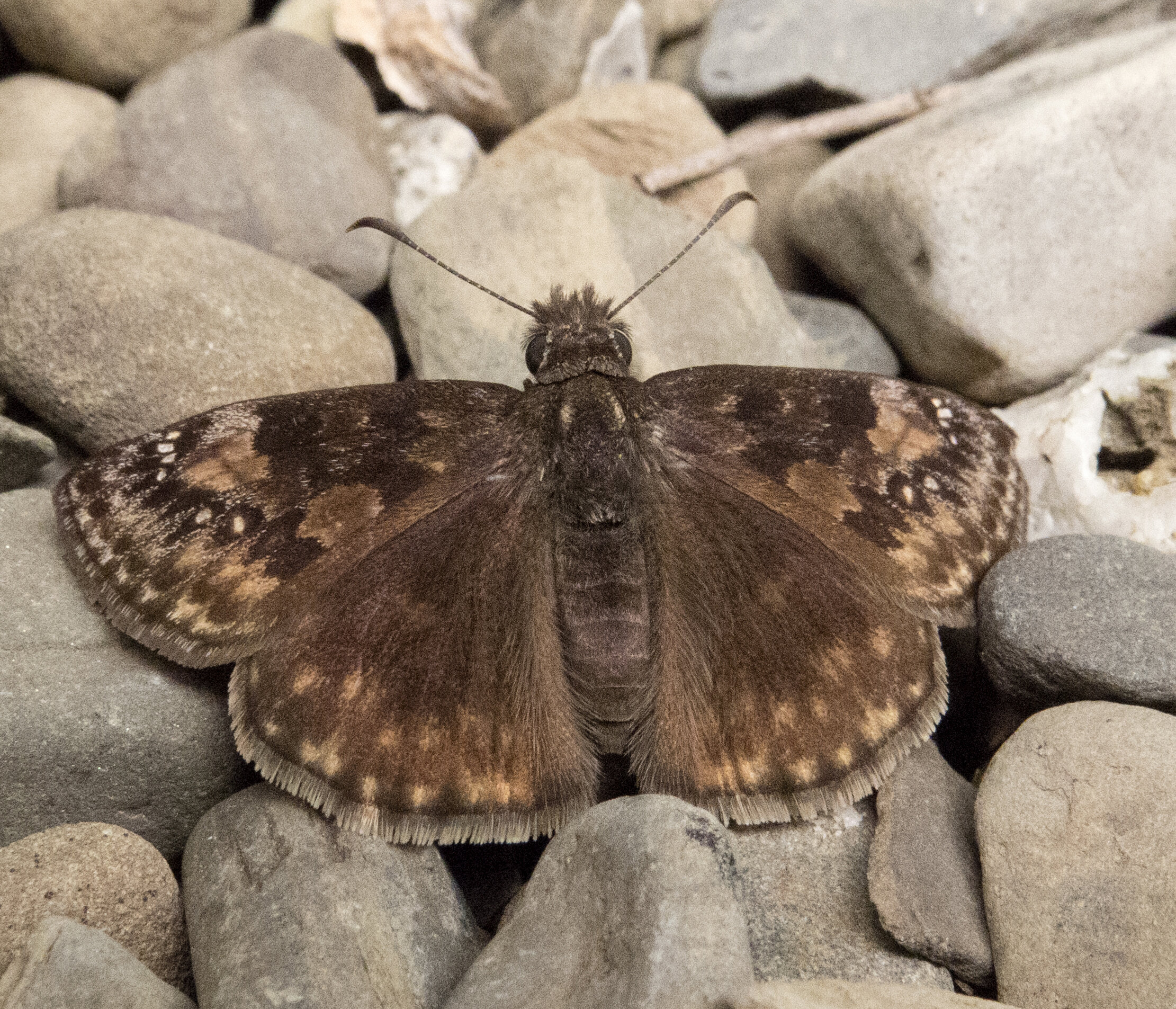Wild Indigo Duskywing butterflies will thrive in your garden if you leave the leaves.
