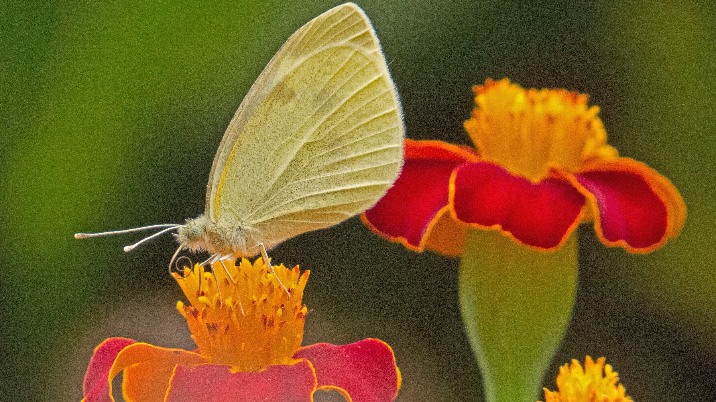 Marigold seeds are easy to save and share. Single petaled varieties are attractive to butterflies, like this Cabbage White