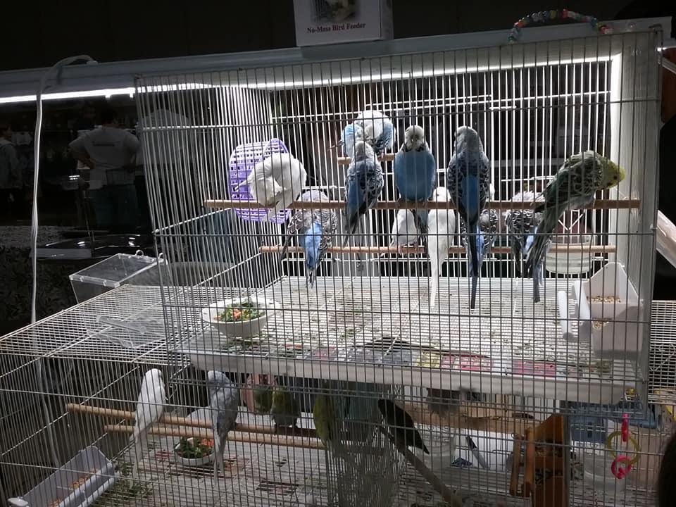 maebs bird fair 2018 parakeets.jpg