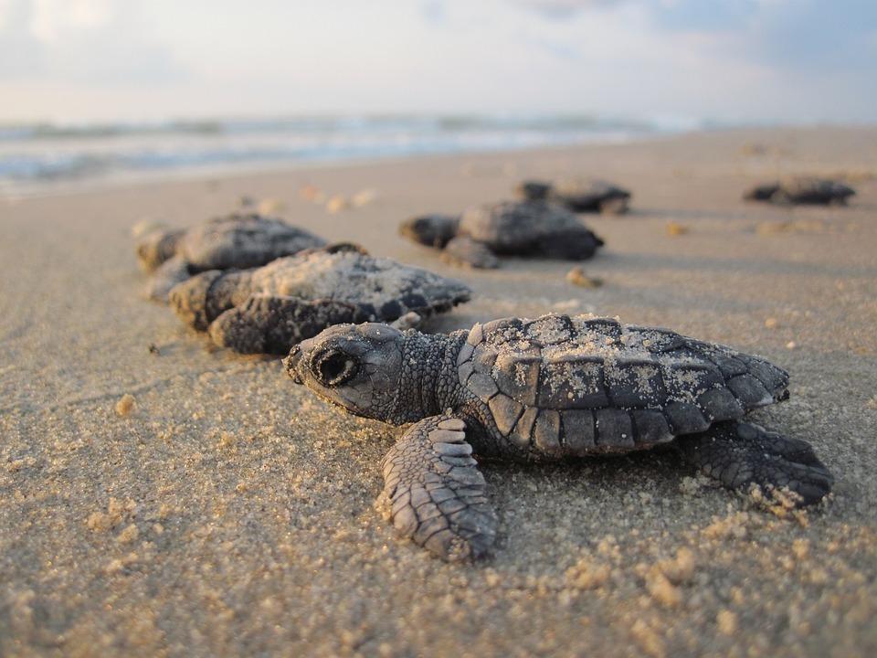 sea-turtles-1503461_960_720.jpg