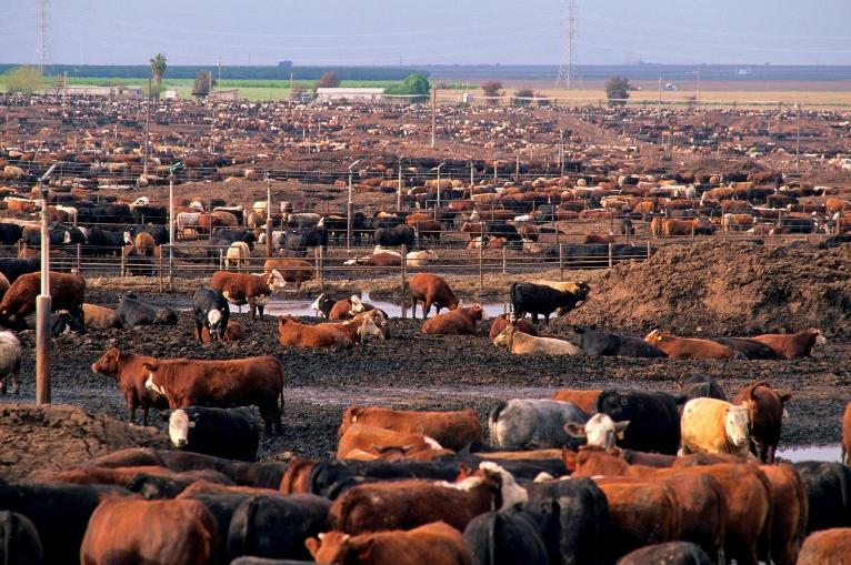feedlot beef.jpg