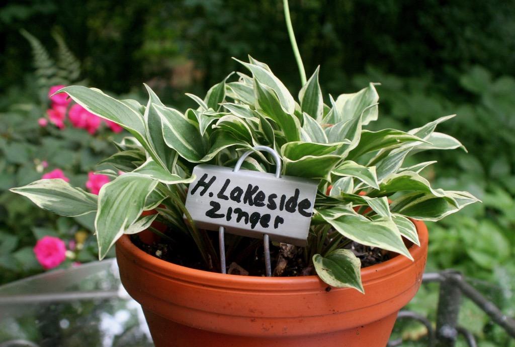 'Lakeside Zinger'
