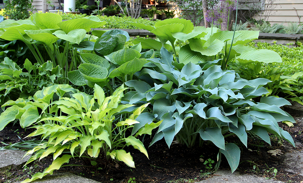 Hosta Group Front copy.jpg