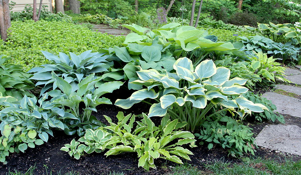 Hosta Group Front2 copy.jpg