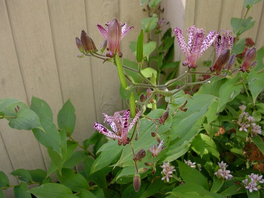Toad Lily 1004.jpg