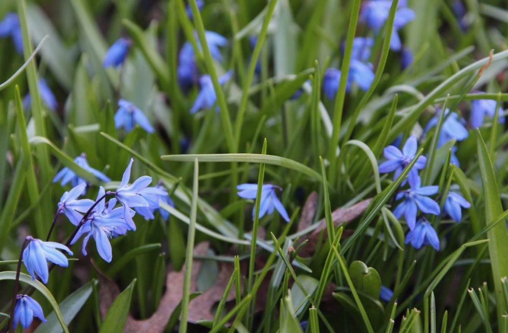 Squill  (Scilla siberica).  A tiny blue flower with a huge impact when grown in mass.  We see fields of squill in our neighborhood this time of year.