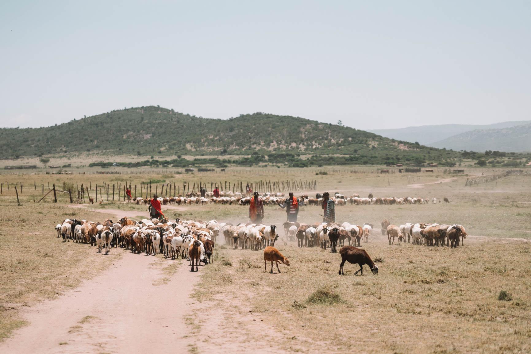 Maasai Mara Tribe herding goat Kenya