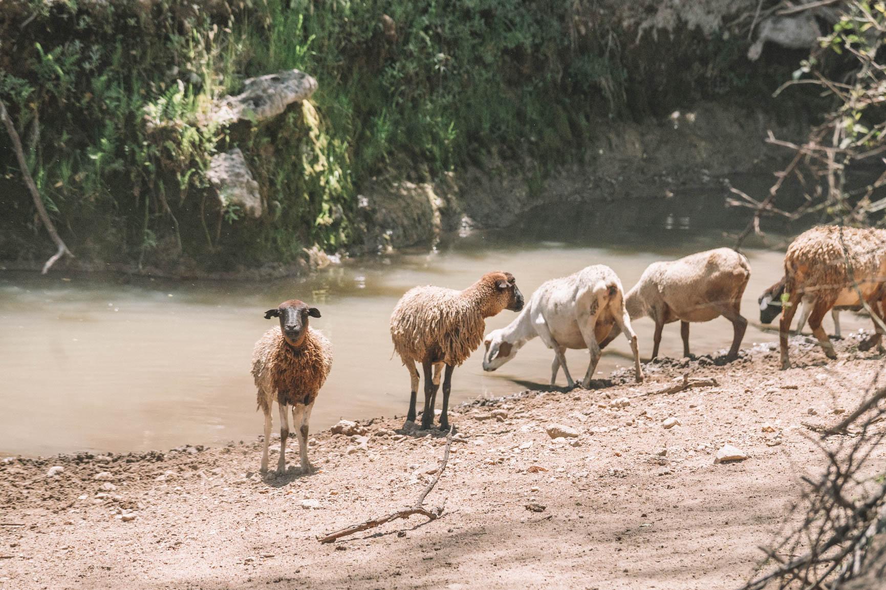 Maasai Mara life goat Kenya