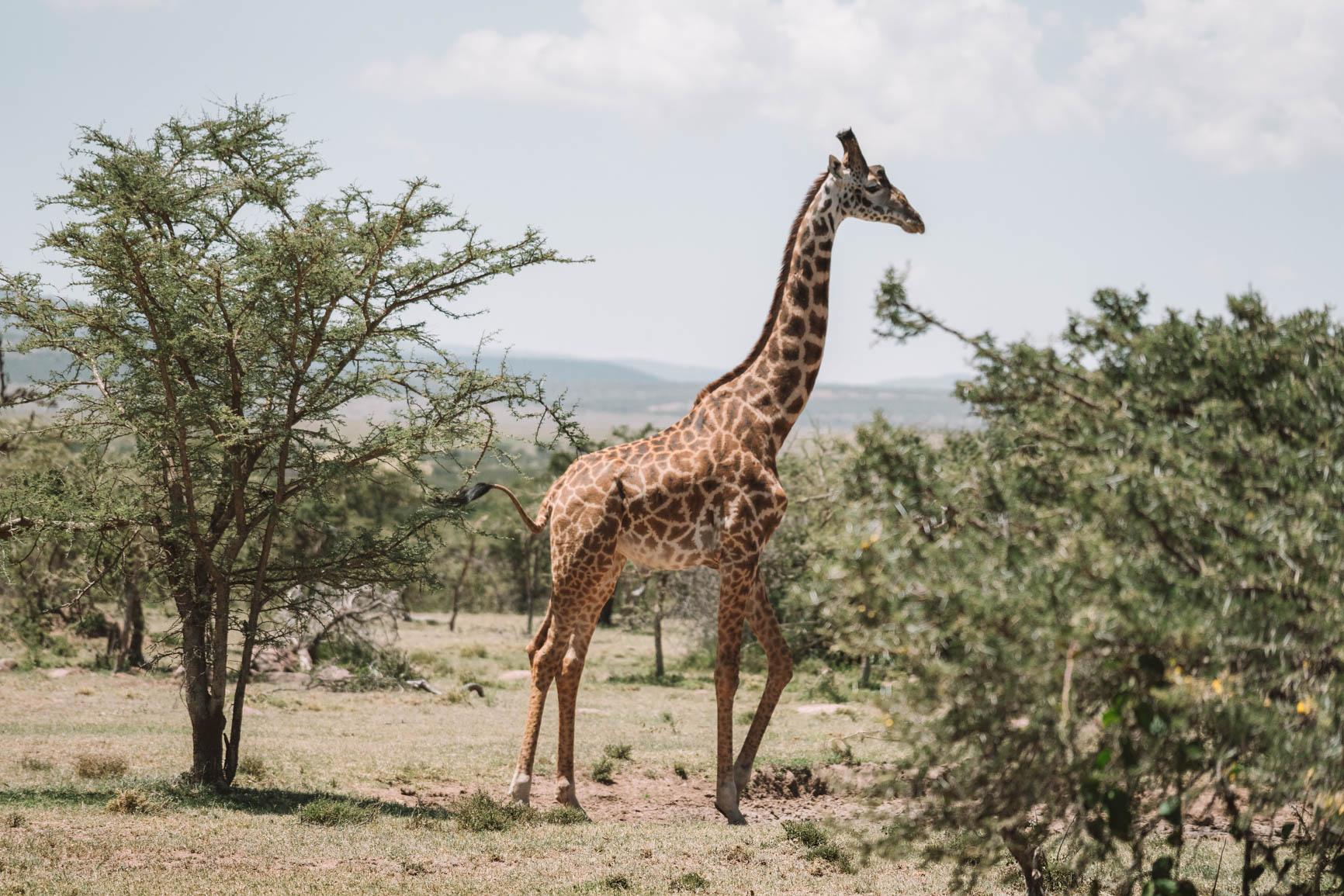 Giraffe Masai Mara Kenya #Africa